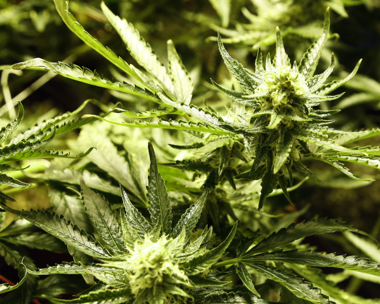 a research on the substance marijuana Recent research proves the health benefits and safety of marijuana, and that it is much safer than prescription drugs recent research proves the health benefits and safety.